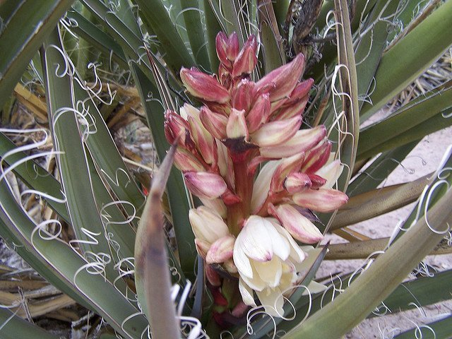 Banana Yucca | Photo courtesy of Petrified Forest National Park