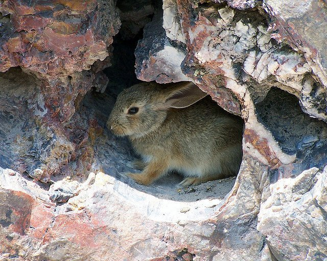 Desert Cottontail Rabbit | Photo courtesy of Petrified Forest National Park