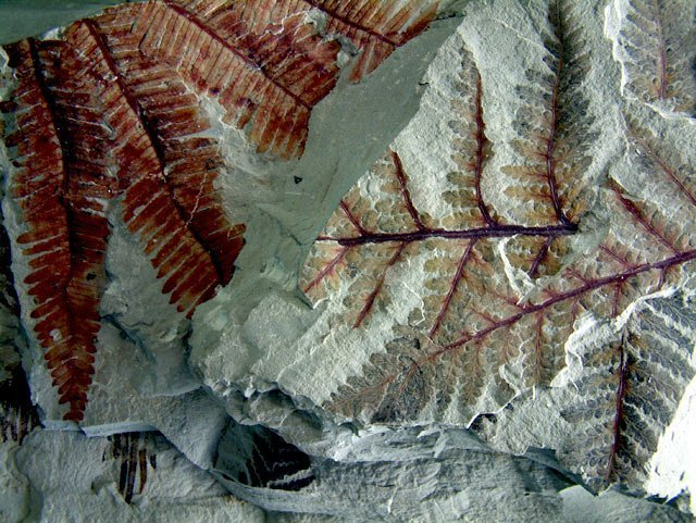 Fern fossils found in the park | Photo by Denise Traver