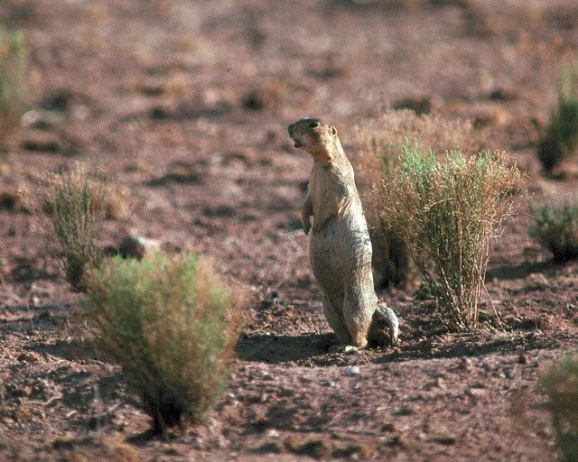 Gunnison's Prairie Dog | Photo courtesy of Petrified Forest National Park