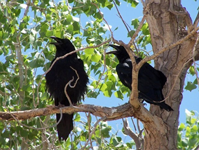 Ravens | Photo courtesy of Petrified Forest National Park