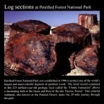 Large Petrified Wood Log Sections: Commemorative Sticker
