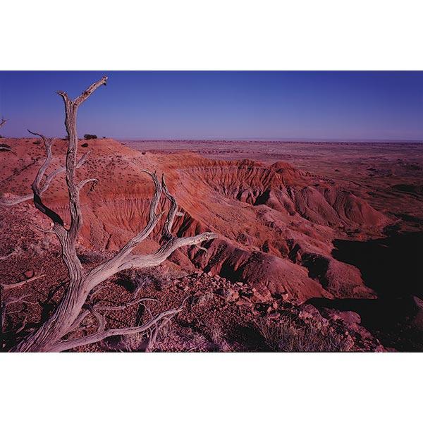 Skeleton Tree over Painted Desert Postcard