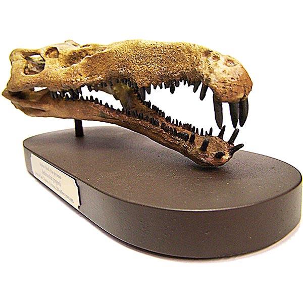Phytosaur Skull Replica - Front View